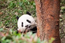 Chengdu Research Base of Giant Panda Breeding