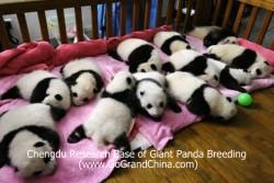 Giant Panda Breeding Research Base Day Tour
