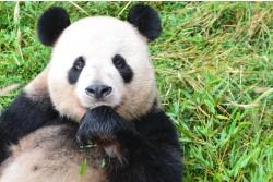 Dujiangyan Panda Base, Chengdu