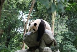 Dujiangyan Panda Base Panda, Chengdu